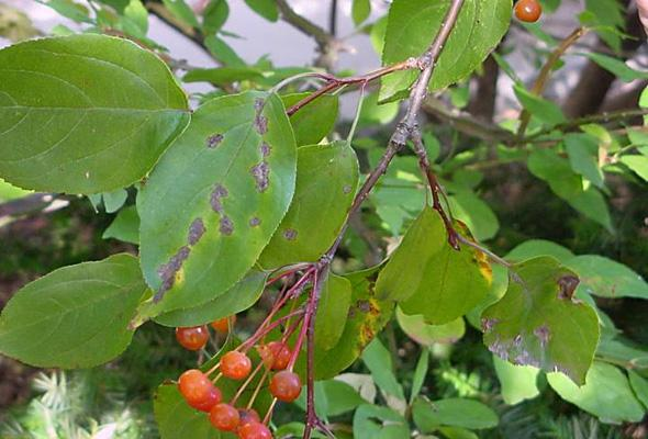 Apple Scab Tree and Shrub Disease
