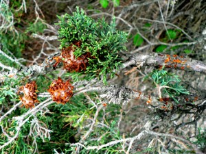CEDAR QUINCE RUST Tree and Shrub Disease