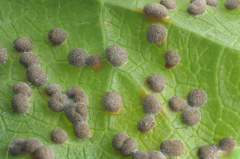 scale insects Tree and Shrub pest